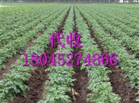 马铃薯种子薯基地18045274866
